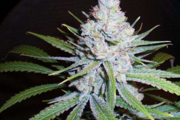 Skunk, la plus connue des variétés de cannabis ?